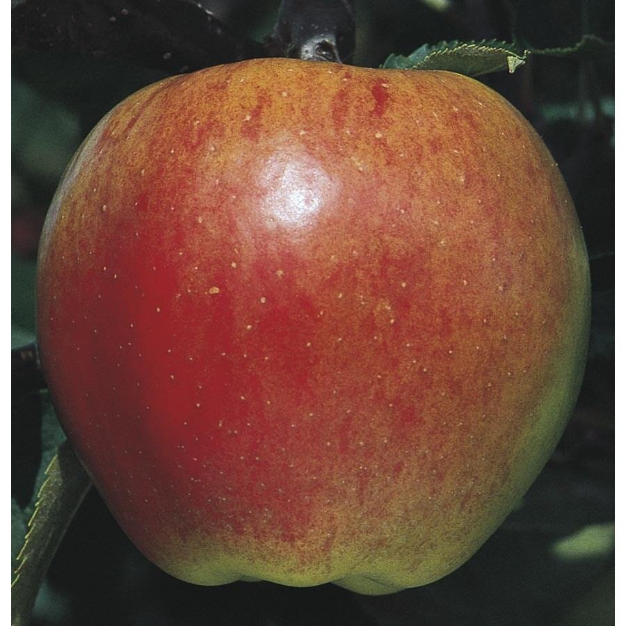 3.74-Gallon Jonagold Apple Tree (L7675)