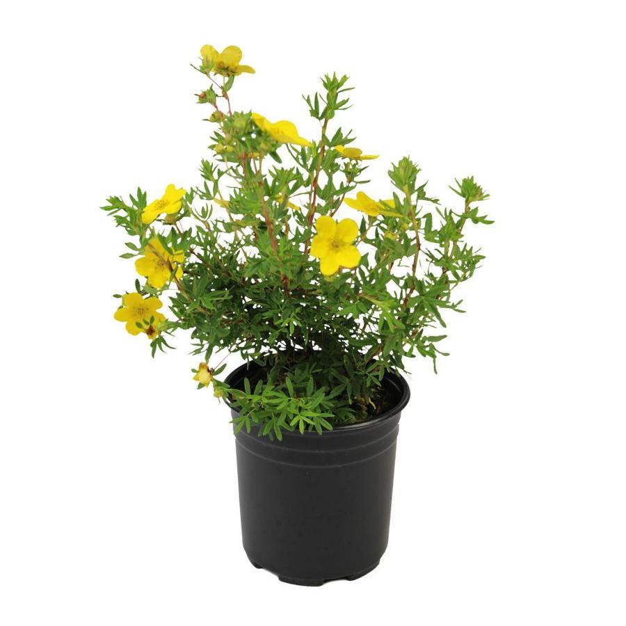 2.5-Quart Yellow Potentilla Flowering Shrub (L3942)