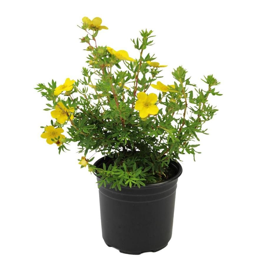 2.25-Gallon Yellow Potentilla Flowering Shrub (L3942)