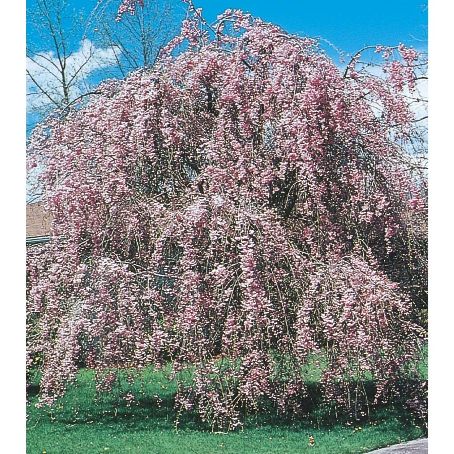 6.08-Gallon Pink Weeping Cherry Feature Tree (L1010)