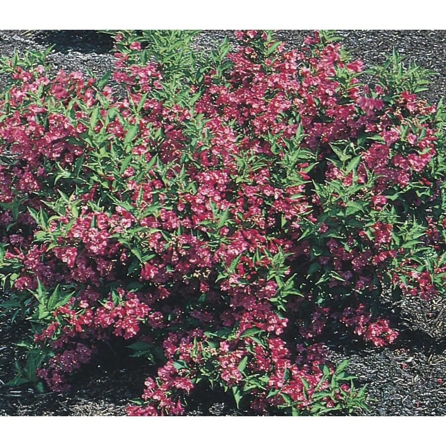 2.5-Quart Pink Weigela Flowering Shrub (L1019)