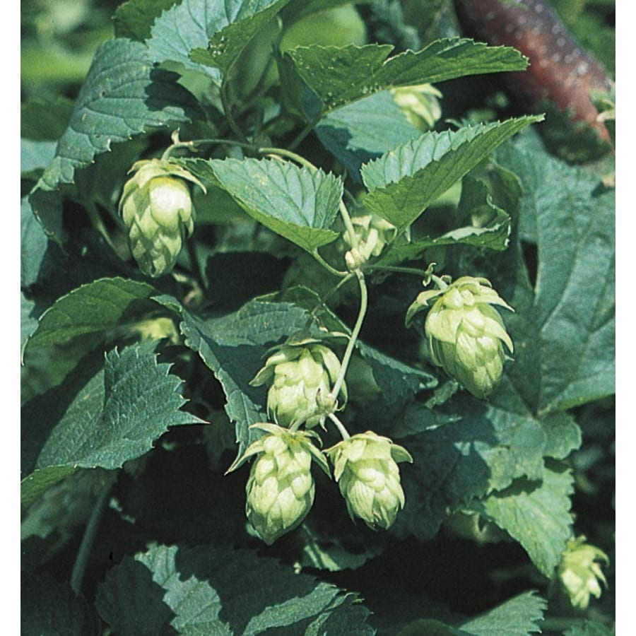 2.5-Quart(s) Common Hop (L23699)