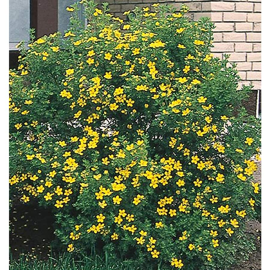 8.75-Gallon Yellow Potentilla Flowering Shrub (L3942)