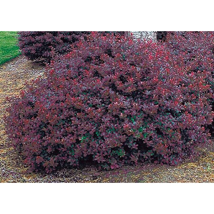 8.75-Gallon Crimson Pygmy Barberry Accent Shrub (L10821)
