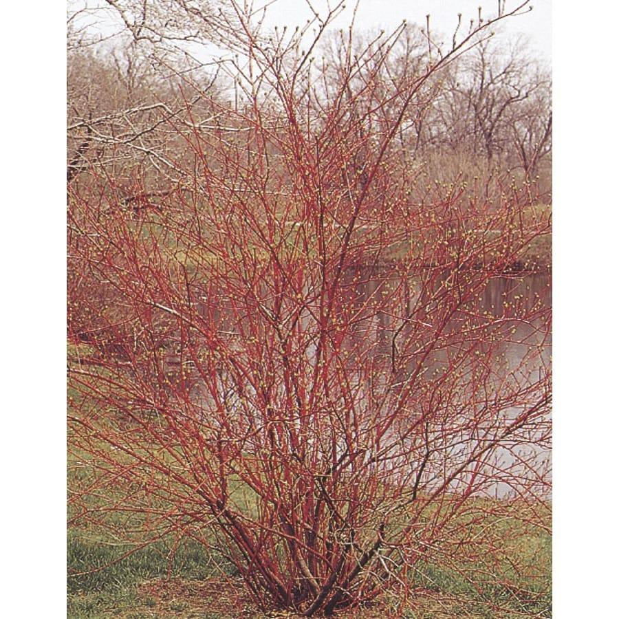 5.5-Gallon White Red Twig Dogwood Accent Shrub (L5979)
