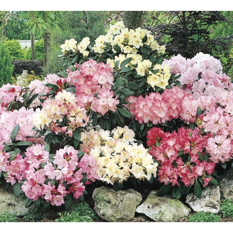 5.5-Gallon Mixed Rhododendron Flowering Shrub (L5420)