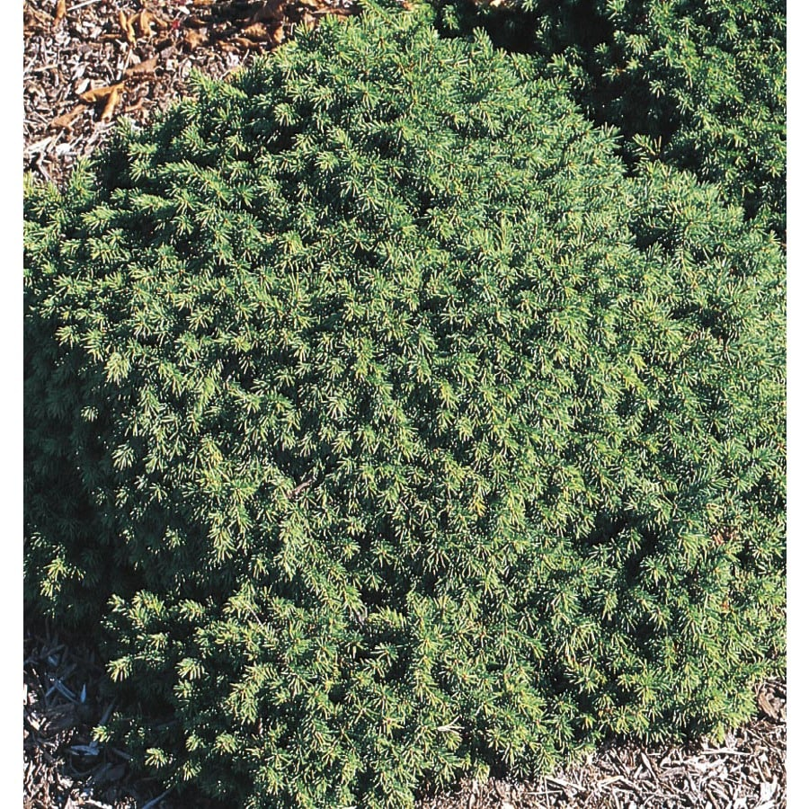 2.25-Gallon Dwarf Norway Spruce Feature Shrub (L6210)