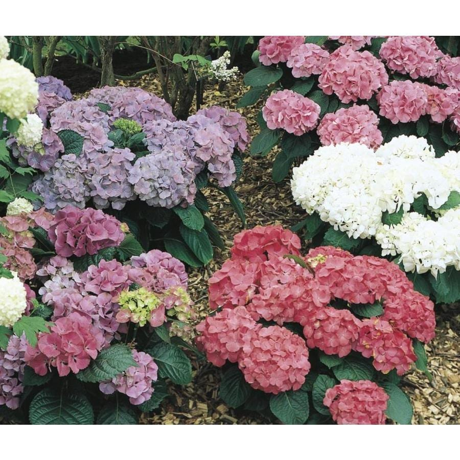 2.25-Gallon Mixed Hydrangea Flowering Shrub (L6357)