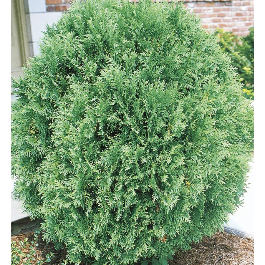 3.63-Gallon Globe Arborvitae Feature Shrub (L4610)