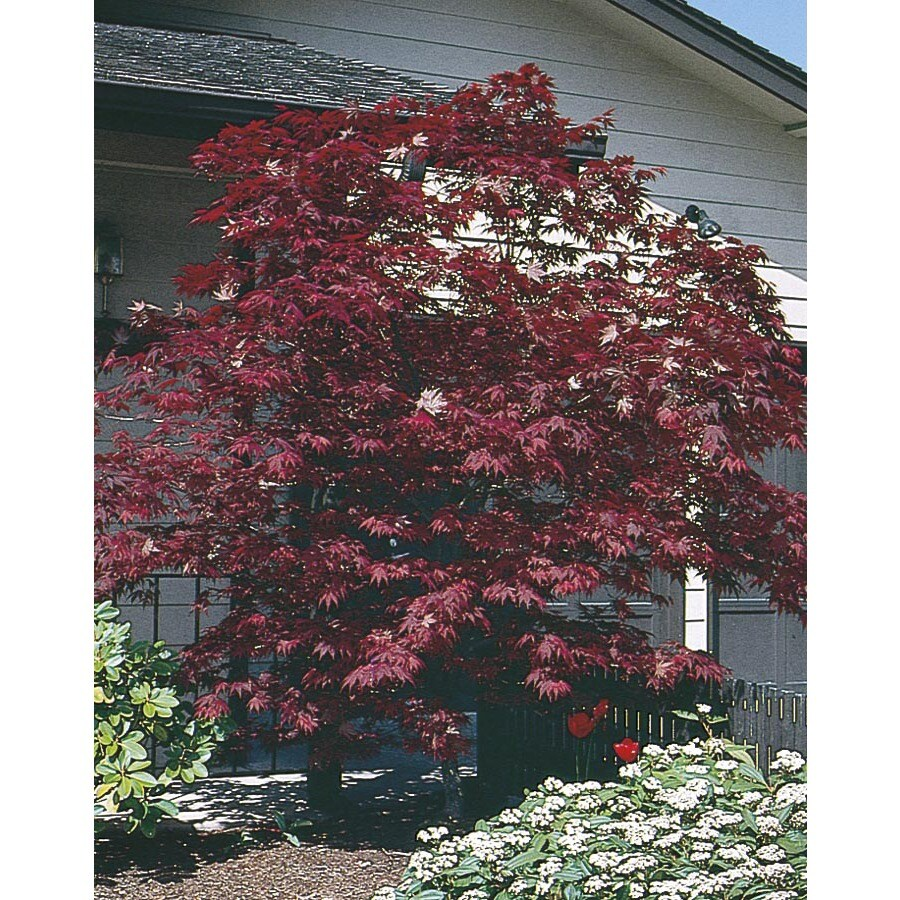 24.5-Gallon Assorted Upright Japanese Maple Feature Tree (L5413)