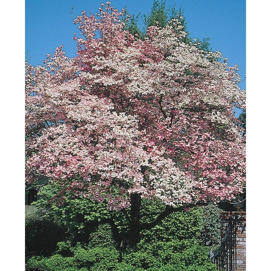 Shop 6 Gallon Red Flowering Dogwood Flowering Tree L1022