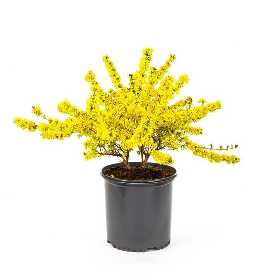2.25-Gallon Yellow Forsythia Flowering Shrub (L3184)