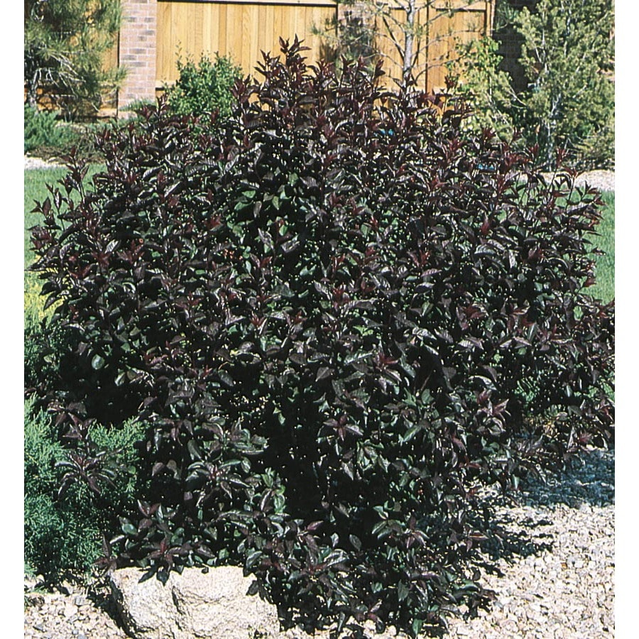3.63-Gallon Pink Sand Cherry Feature Shrub (L9311)