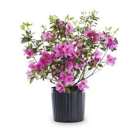 2.25-Gallon Multicolor Azalea Flowering Shrub in Pot (L5159)