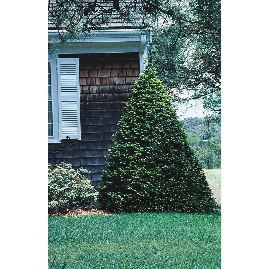 3.25-Gallon Capitata Yew Feature Shrub (L4607)