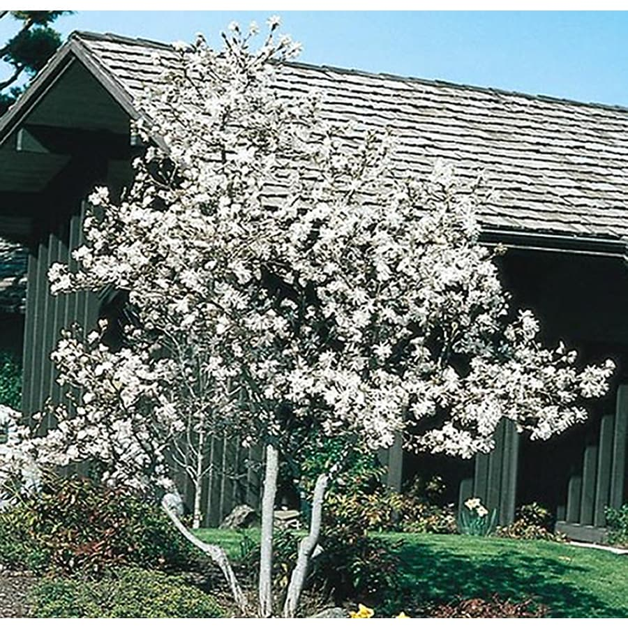 2.25-Gallon White Royal Star Magnolia Flowering Shrub (L1148)