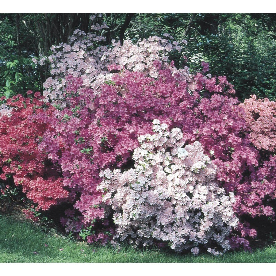 3-Quart Mixed Azalea Flowering Shrub (L5159)