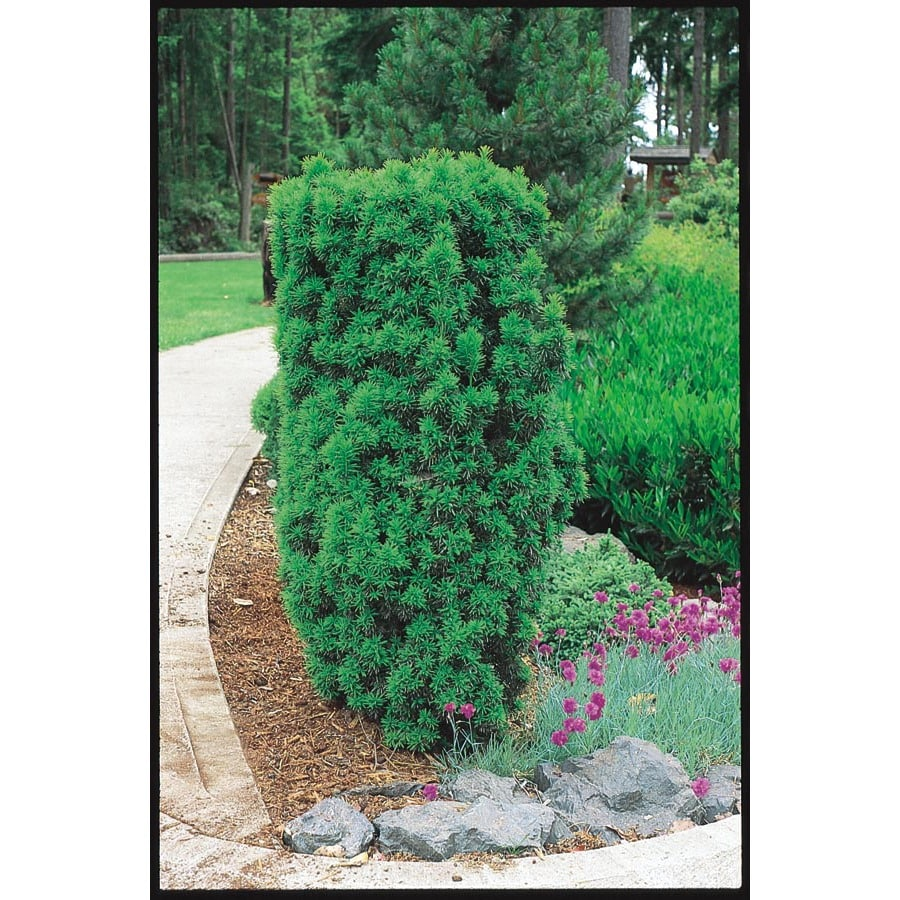 3.25-Gallon Upright Yew Foundation/Hedge Shrub (L4609)