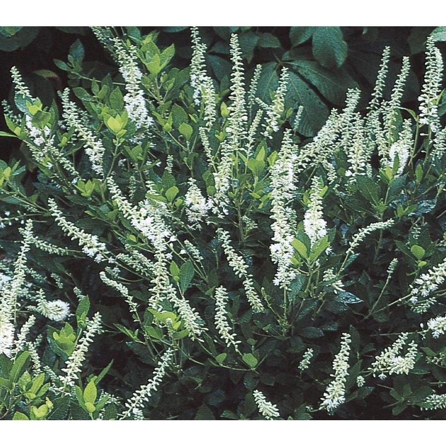 2.25-Gallon White White Summersweet Flowering Shrub (L6577)