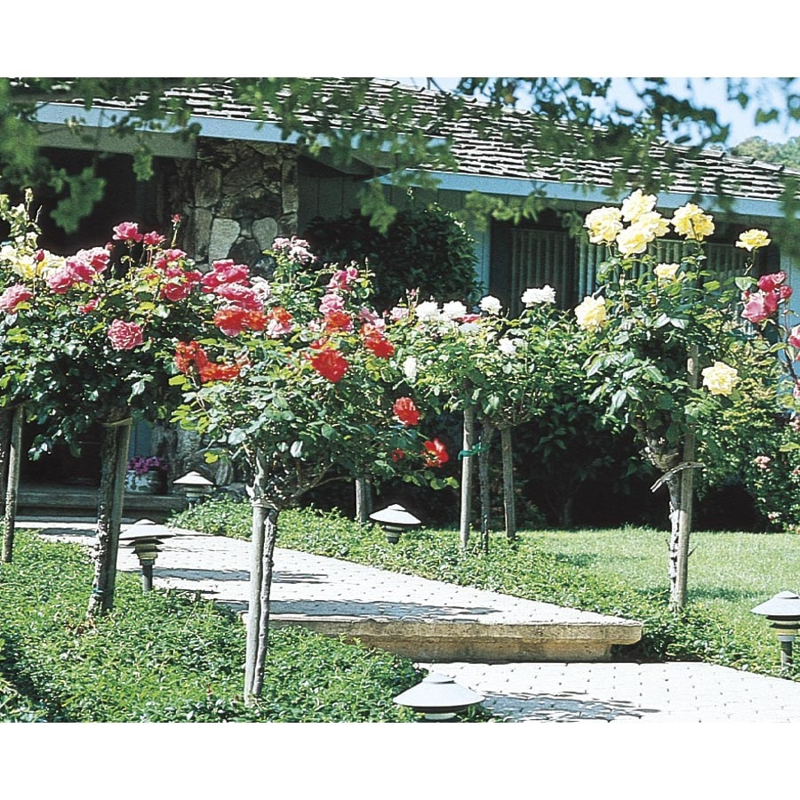 3.5-Gallon Tree Rose (L5352)