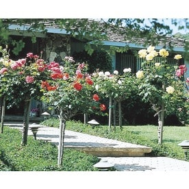3.5 Gallon Tree Rose (L5352)