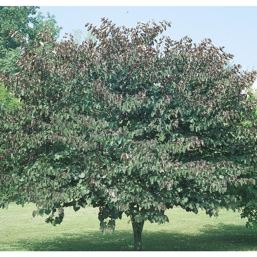 6.08-Gallon Forest Pansy Redbud Flowering Tree (L1071)
