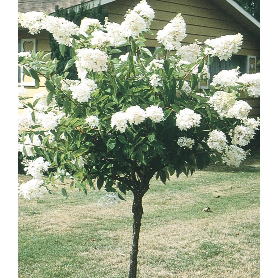 Shop 325 Gallon White Peegee Hydrangea Tree Flowering Shrub L9285