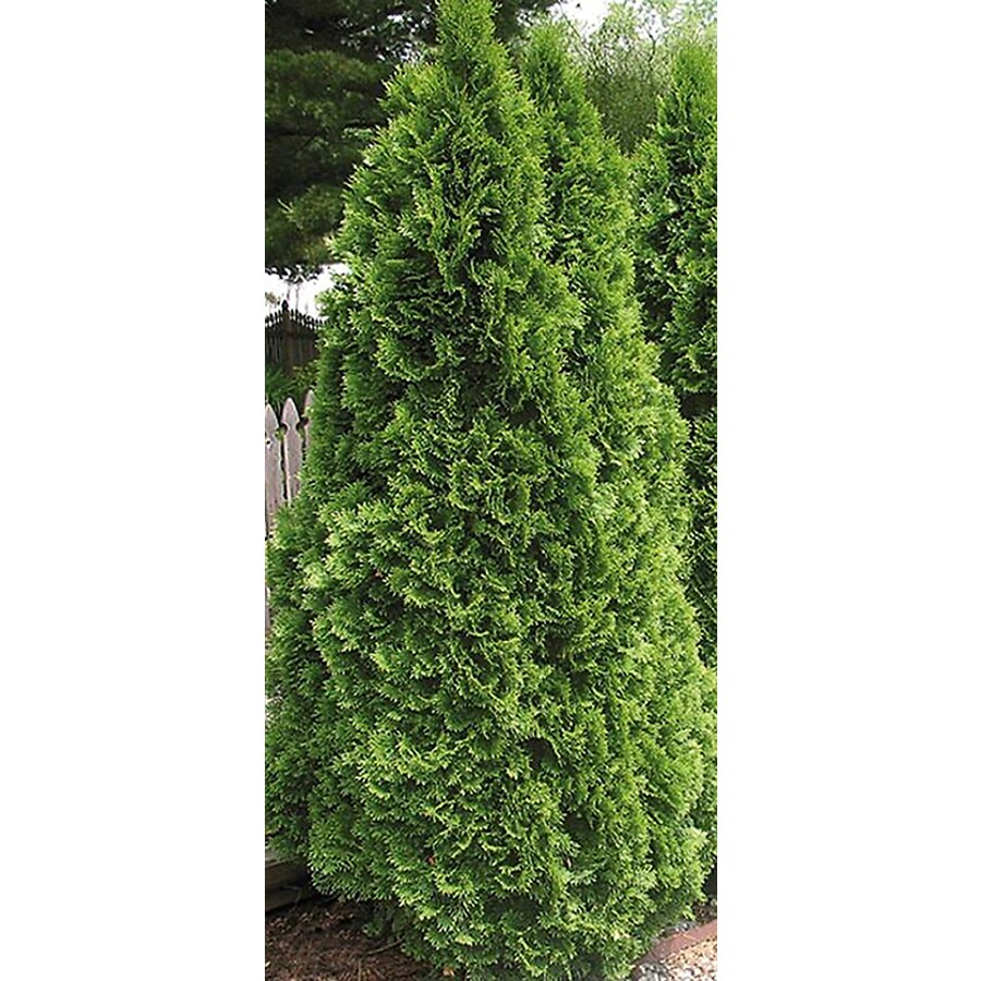 4.5-Quart Emerald Green Arborvitae Screening Shrub (L5480)