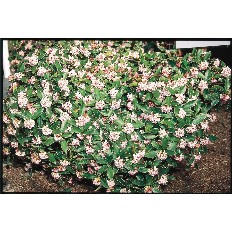 1.5-Gallon Purple Winter Daphne Flowering Shrub (L8130)
