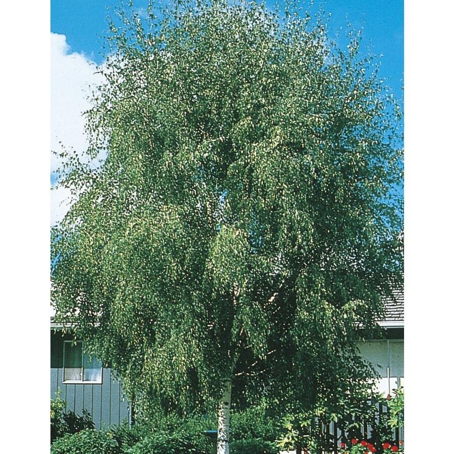 3.63-Gallon European White Birch Feature Tree (L1050)