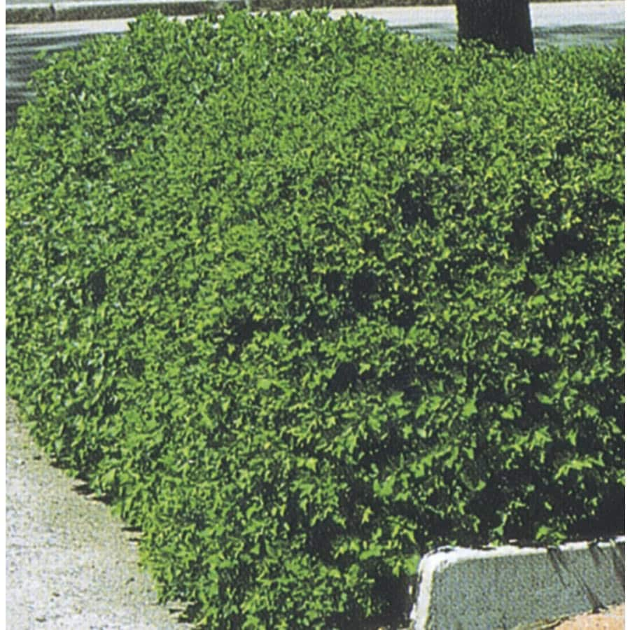 2.25-Gallon Alpine Currant Accent Shrub (L4245)