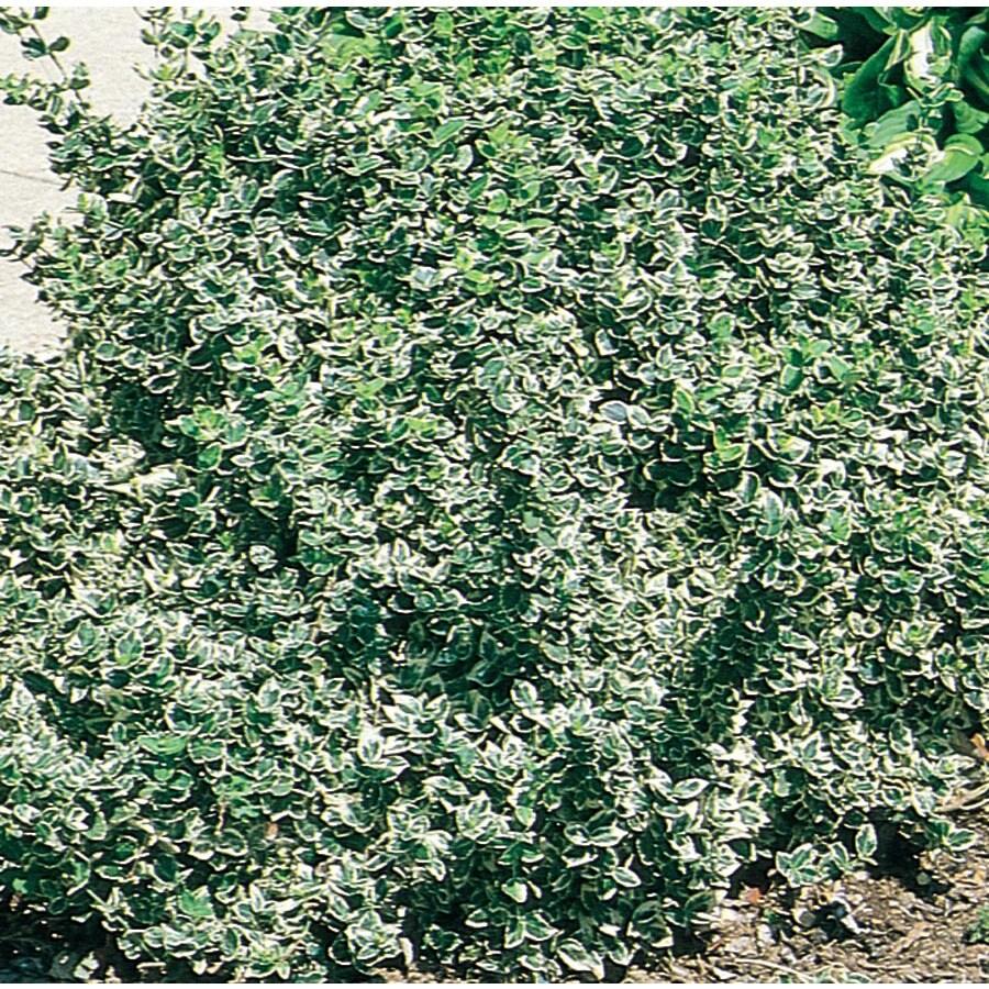 2.25-Gallon Tricolor Euonymus Accent Shrub (L7727)