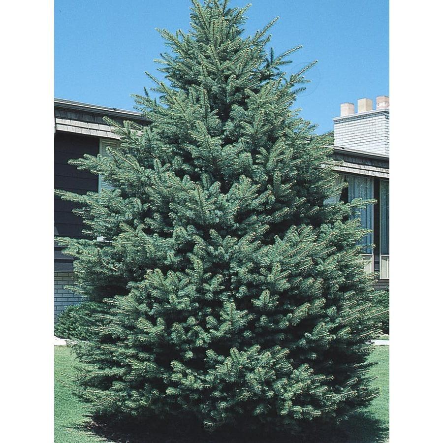 2.25-Gallon Black Hills Spruce Feature Tree (L4531)