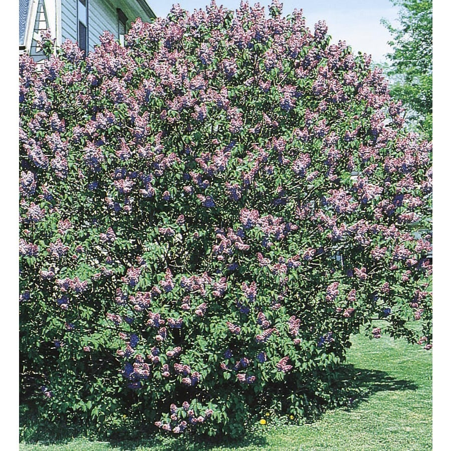 3.25-Gallon Purple Old Fashioned Purple Lilac Flowering Shrub (L7783)