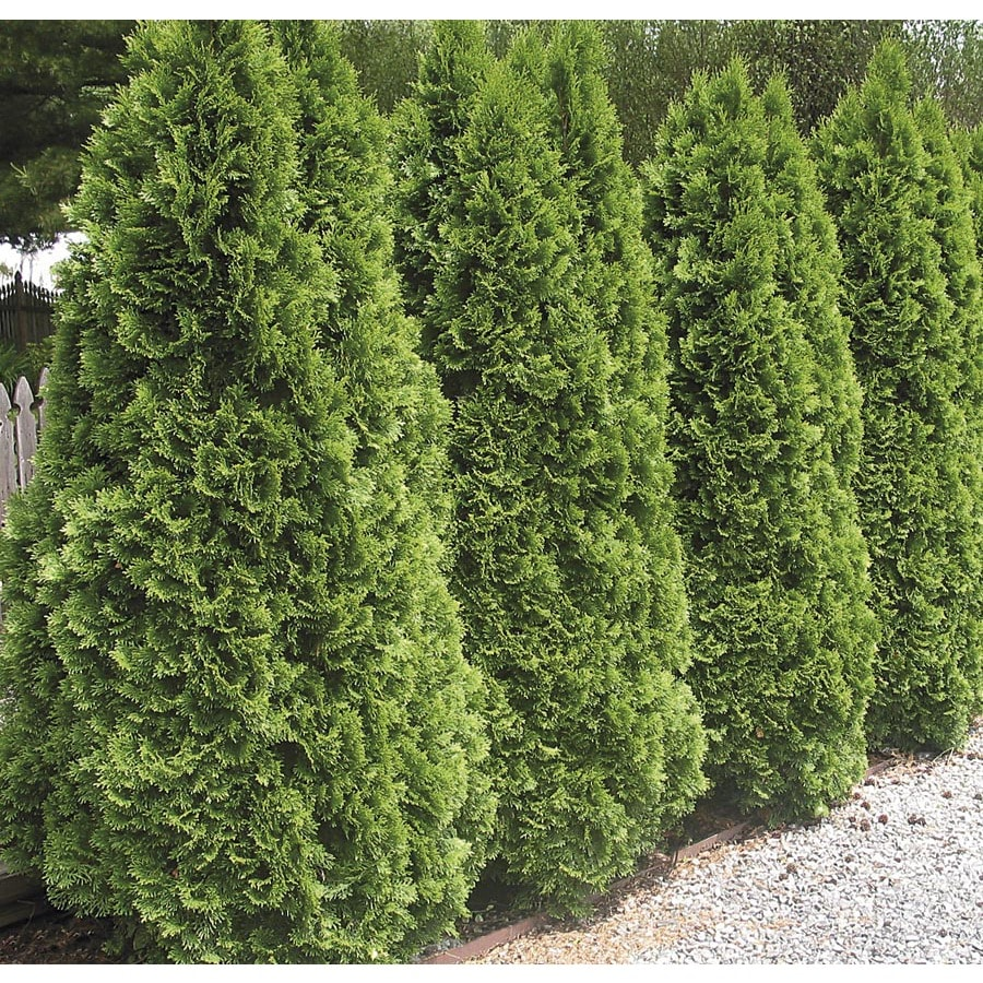 3.63-Gallon Emerald Green Arborvitae Screening Shrub (L5480)