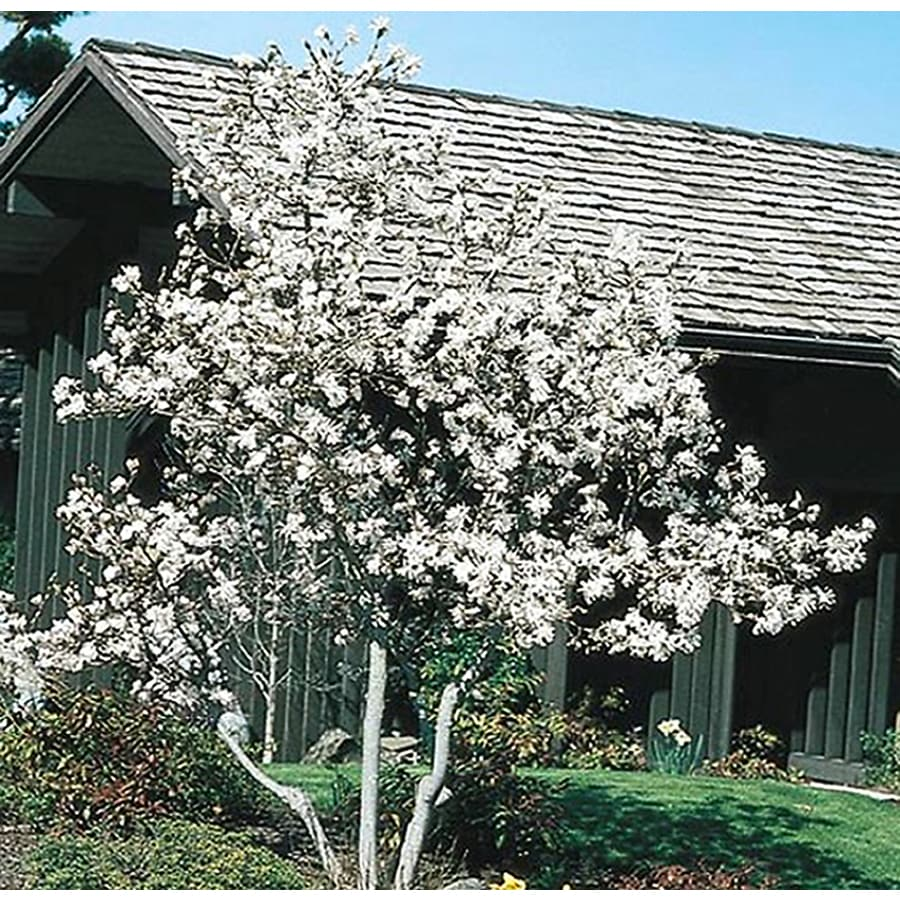 3.25-Gallon Star Magnolia Flowering Tree (L1149)