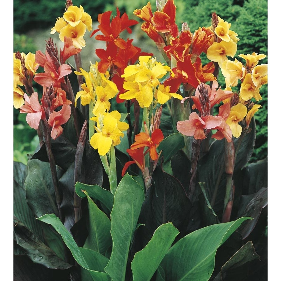 shop 1 gallon potted canna lily lb3461b at. Black Bedroom Furniture Sets. Home Design Ideas