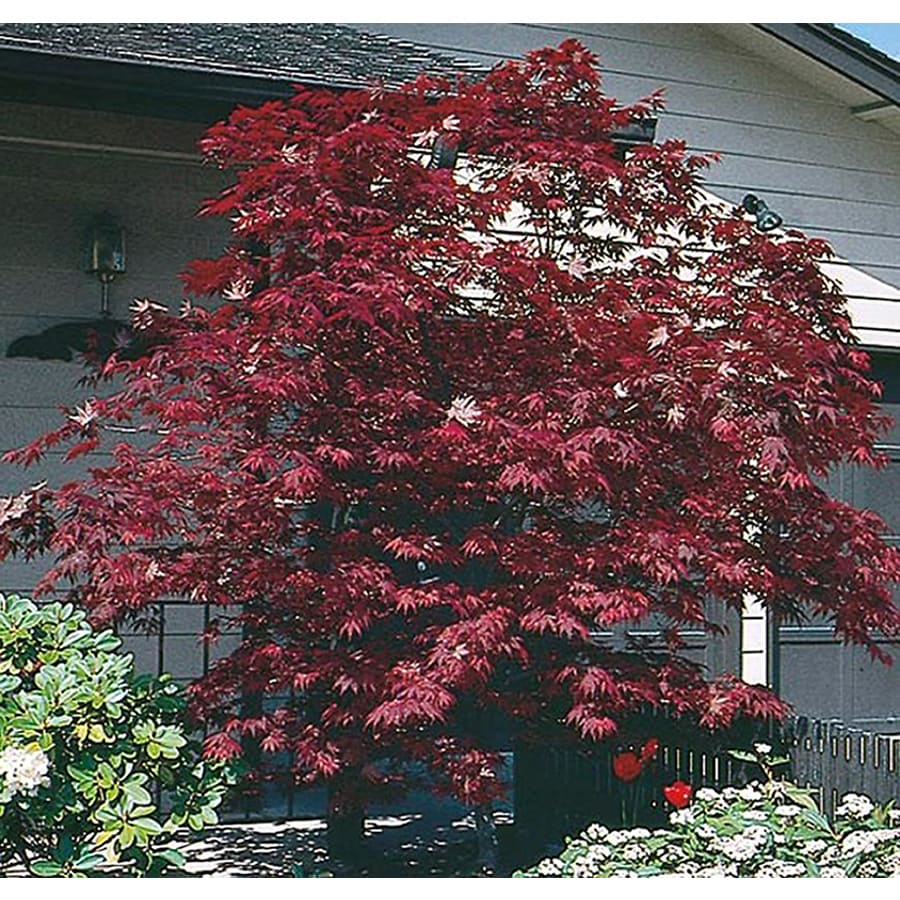 2.25-Gallon Assorted Upright Japanese Maple Feature Tree (L5413)