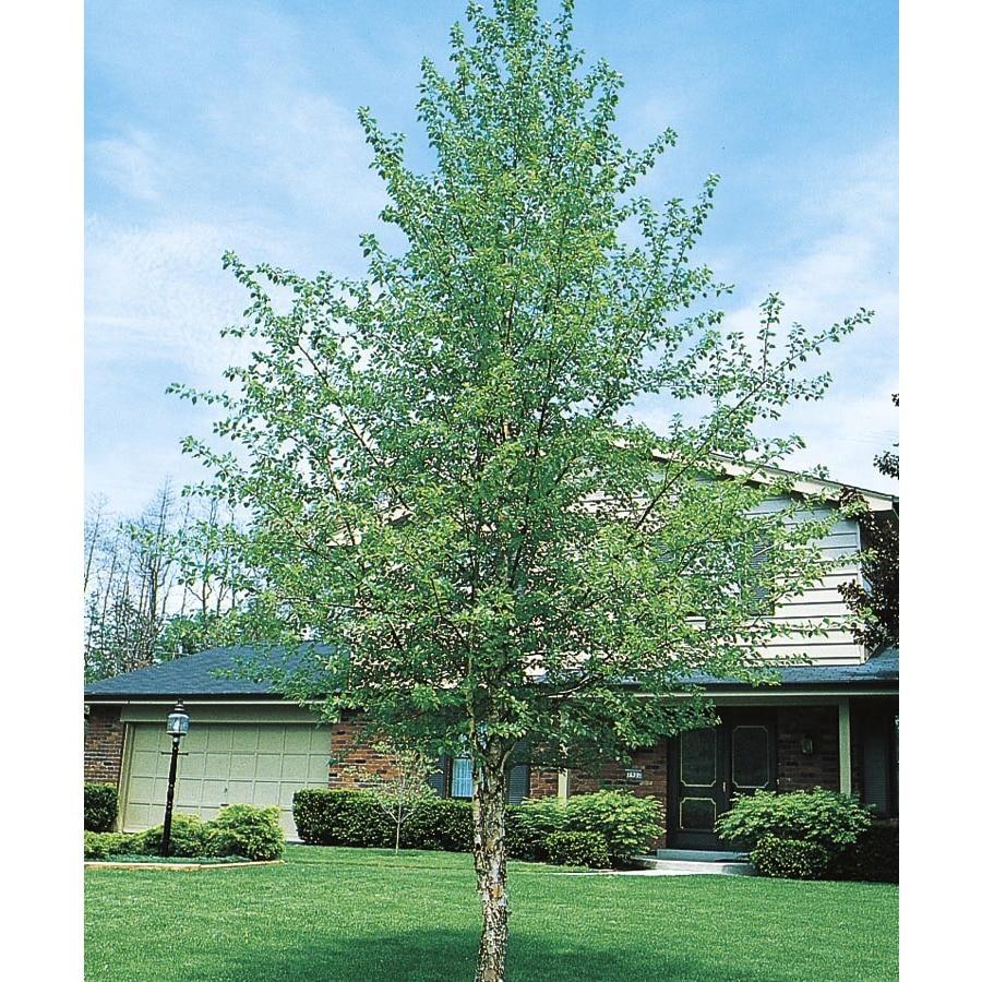 3.74-Gallon River Birch Feature Tree (L1154)