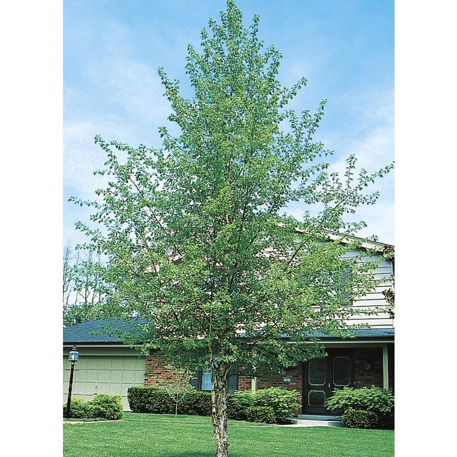 3.63-Gallon River Birch Feature Tree (L1154)