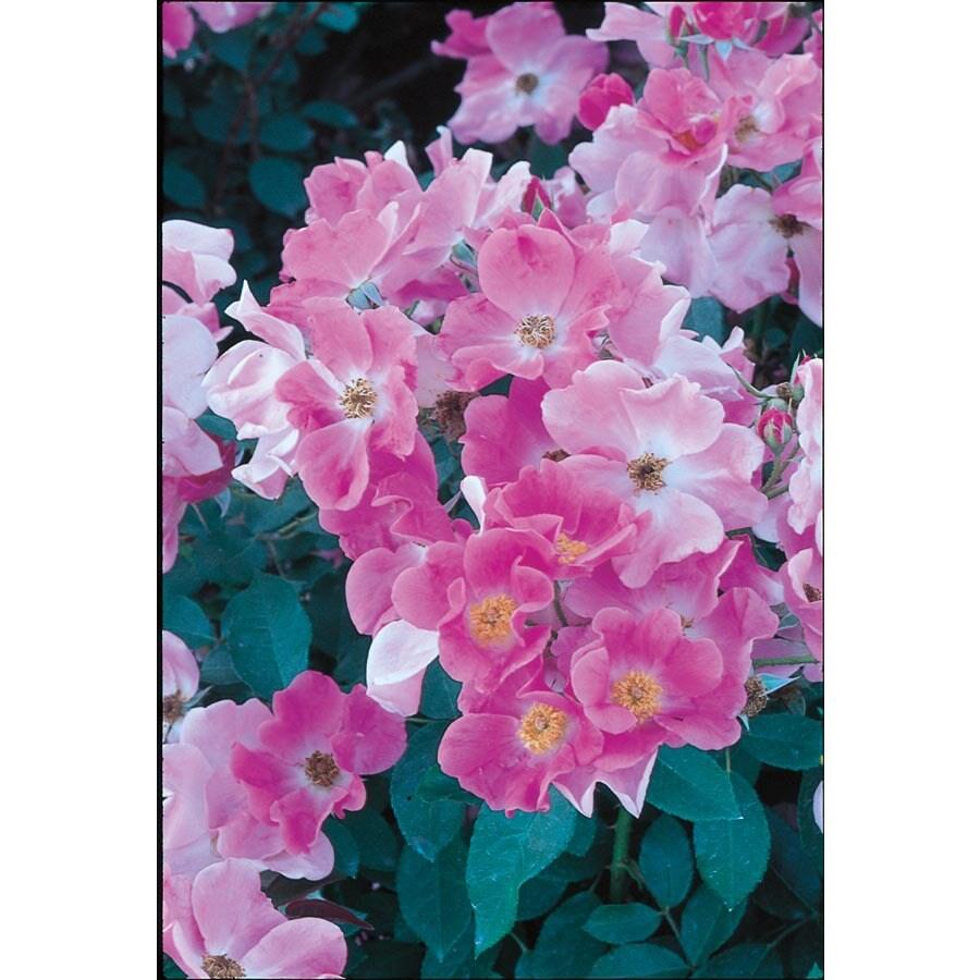 3.5-Quart Nearly Wild Rose (L7575)