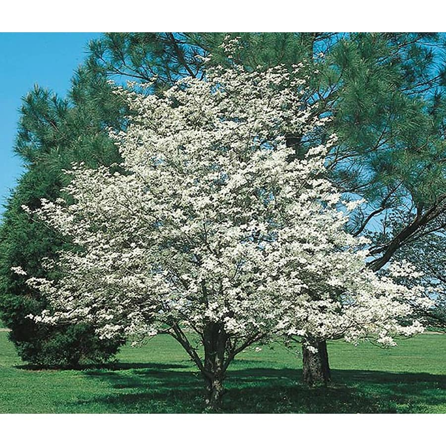 Shop 325 gallon white dogwood flowering tree l1053 at lowes 325 gallon white dogwood flowering tree l1053 mightylinksfo