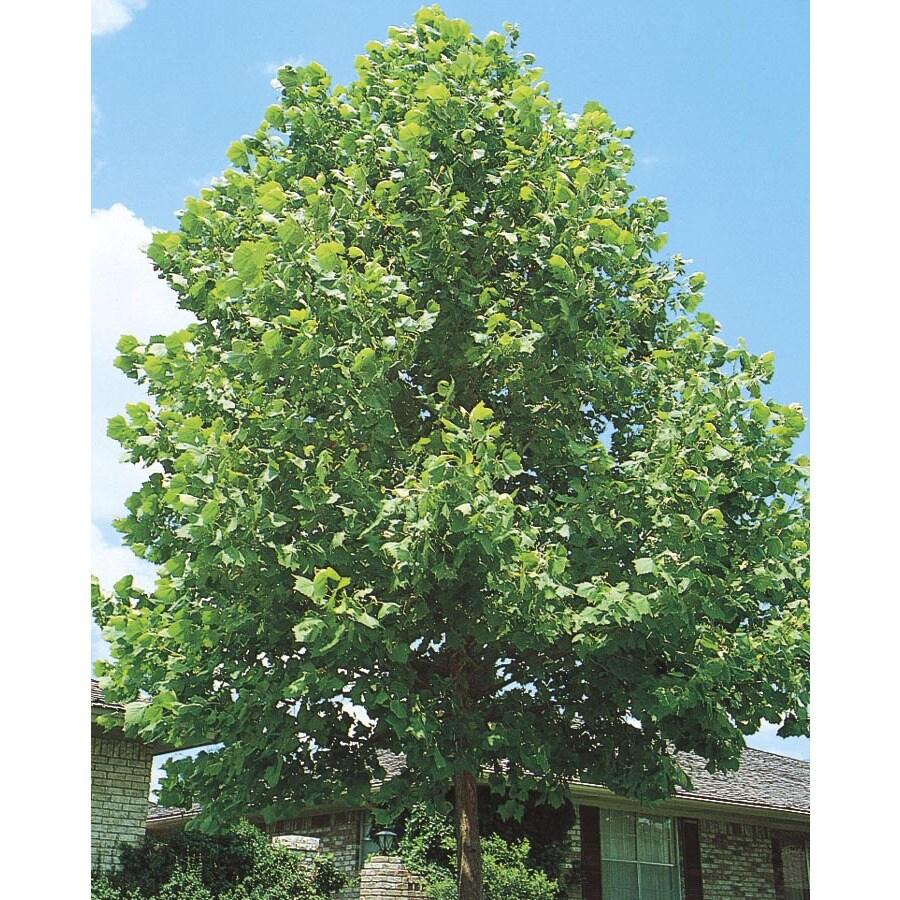 3.63-Gallon Sycamore Tree Shade Tree (L1049)