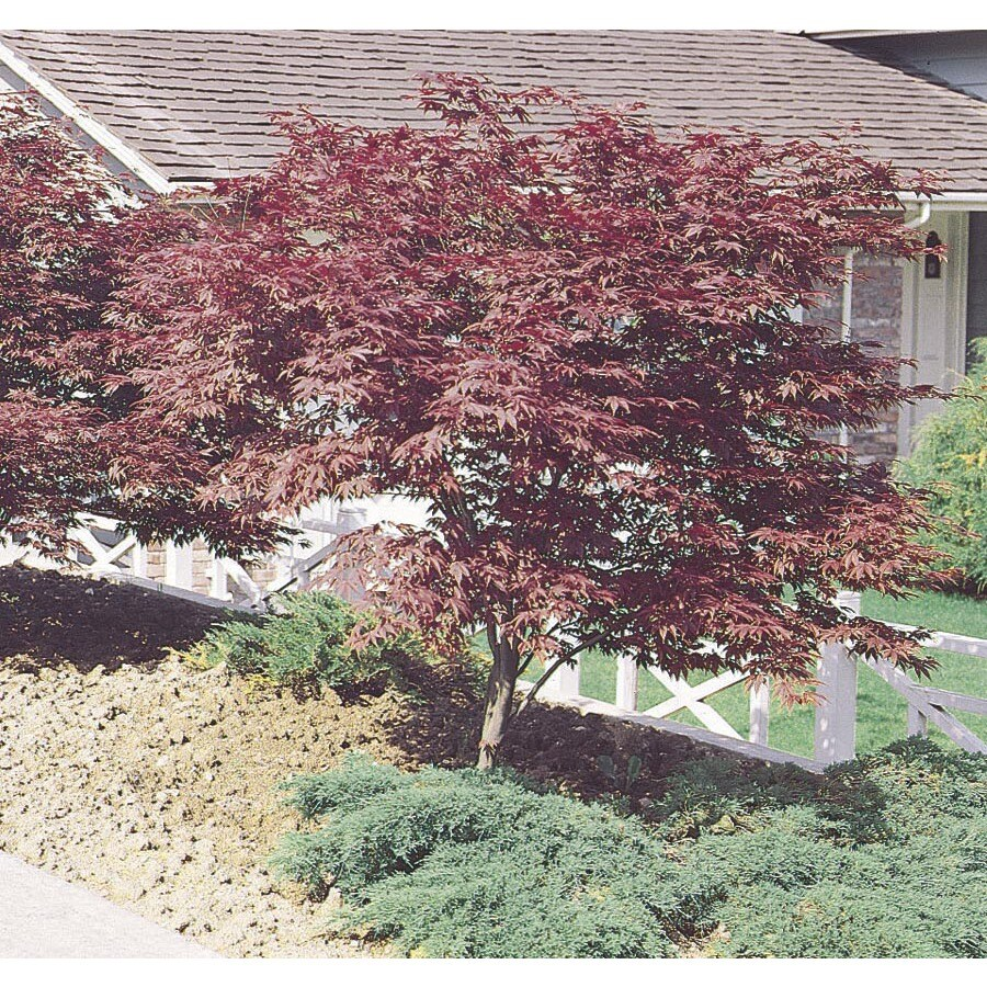 3.25-Gallon Red Japanese Maple Feature Tree (L3165)