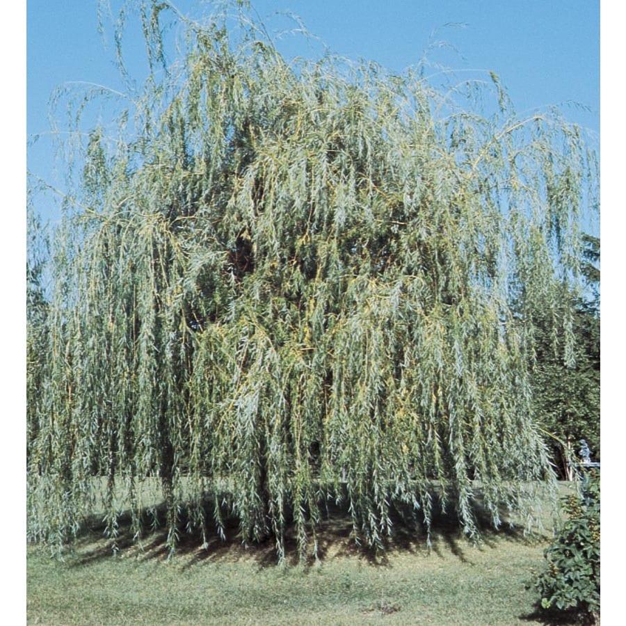 3.74-Gallon Niobe Weeping Willow Shade Tree (L4599)