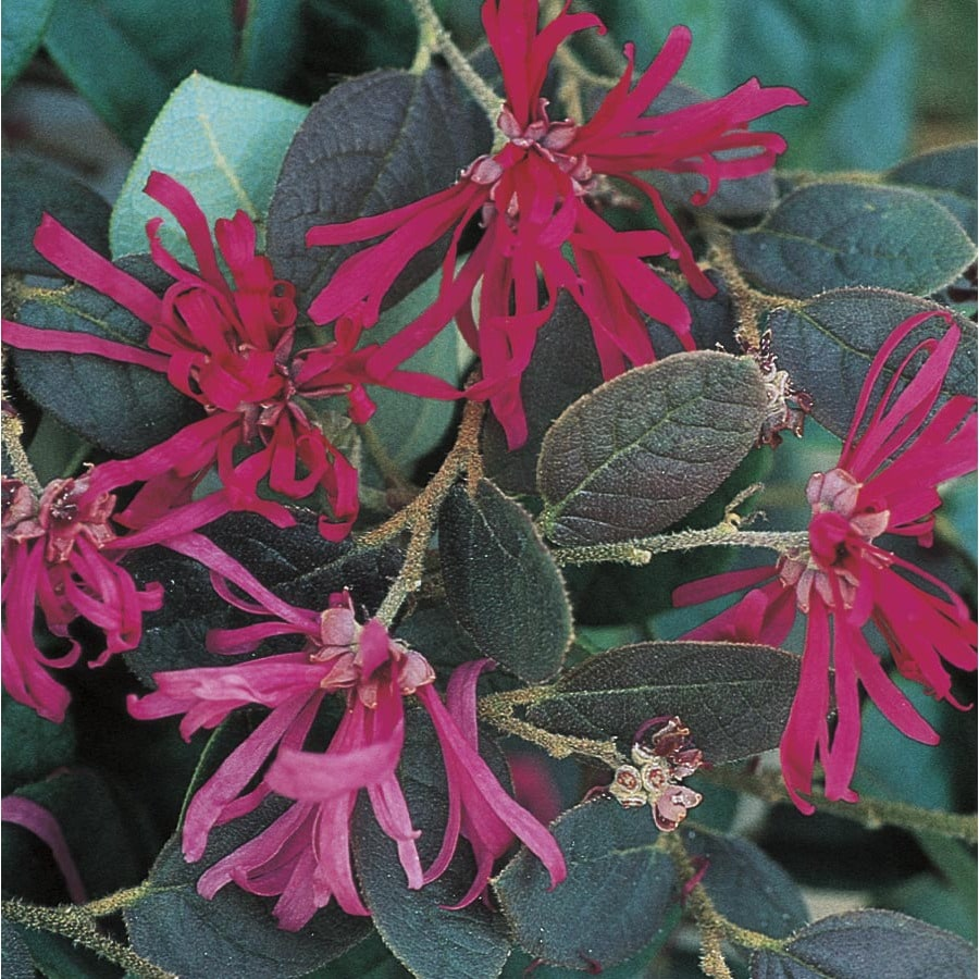 2.5-Quart Pink Chinese Fringe-Flower Accent Shrub (L7192)