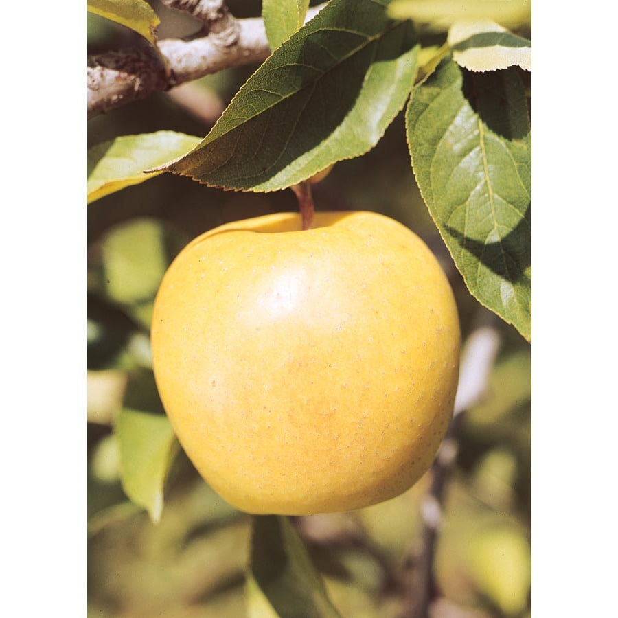 3.25-Gallon Yellow Delicious Apple Tree (L3207)