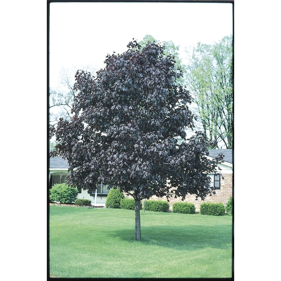 5.5-Gallon Royal Red Norway Maple Shade Tree (L1156)