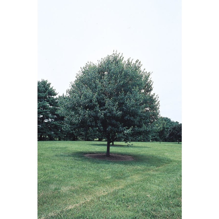 5.5-Gallon Red Sunset Maple Shade Tree (L1129)
