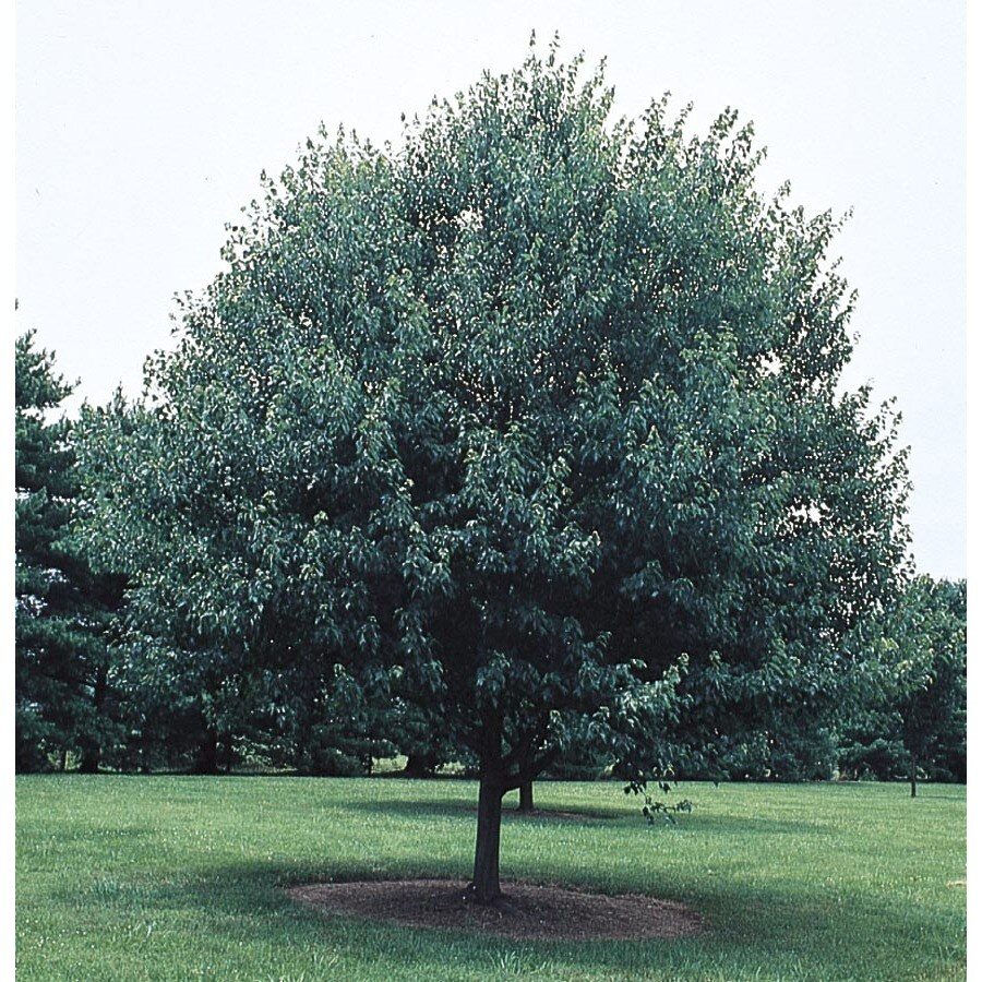6.08-Gallon Red Sunset Maple Shade Tree (L1129)